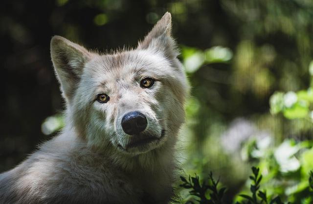 ZOO Brno vlk